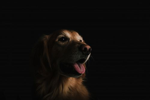 photo short-coated brown dog showing tongue free for commercial use images