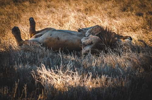 mammal lion in a filed during daytime cattle