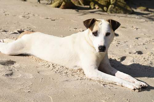 canine short-coated white and tan dog lying on gray sand pet