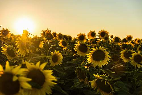 sunflower yellow sunflower field during sunset blossom