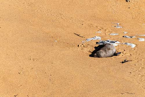 outdoors seal lying on sand sand