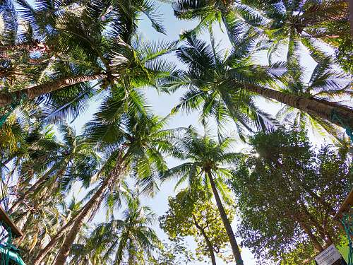arecaceae coconut trees low angle photography plant