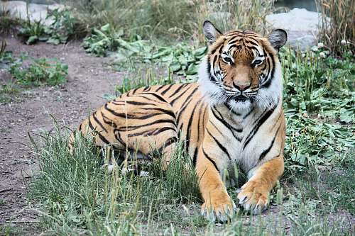 photo mammal Bengal tiger reclining on green grass tiger free for commercial use images