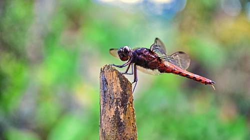 insect red and black dragonfly on brown tree trunk dragonfly
