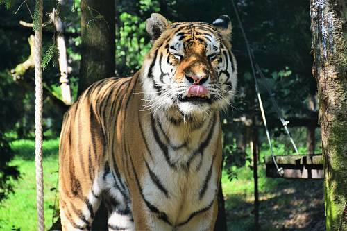 photo Bengal tiger standing during daytime free for commercial use images