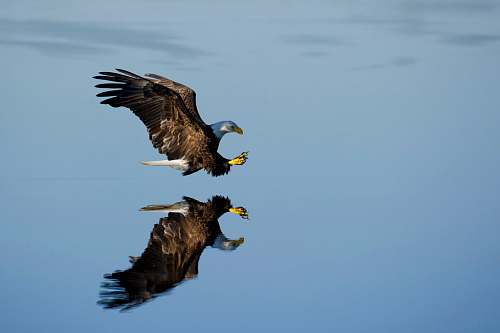 photo animal American bald eagle over body of water eagle free for commercial use images