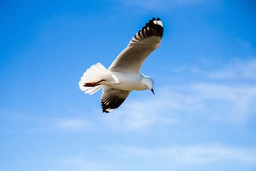 photo animal black and white bird flying under blue sky seagull free for commercial use images