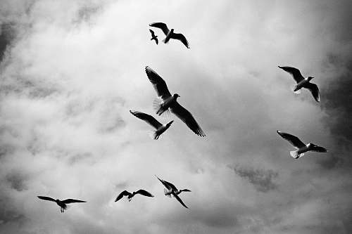 photo black-and-white low angle photo of birds flying seagull free for commercial use images
