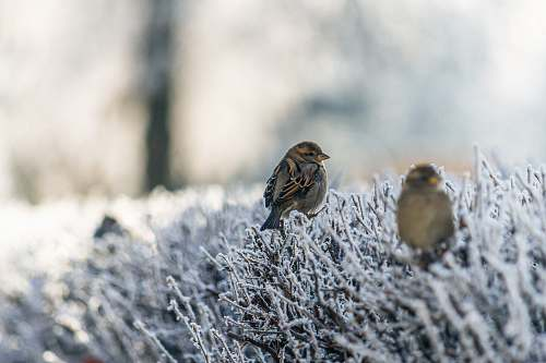 photo sparrow two brown birds on snowfield plant animal free for commercial use images