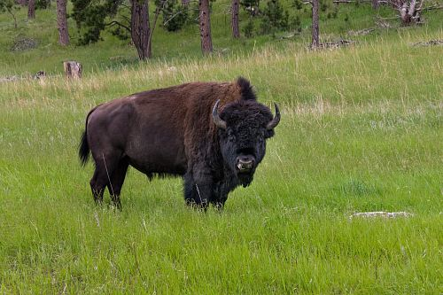 photo bison standing on grass field free for commercial use images