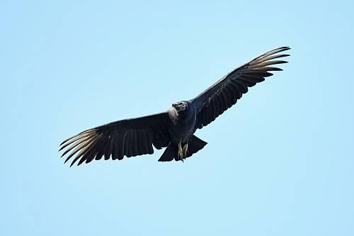 black bird flying under blue sky