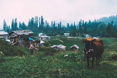 black cattle near gray wooden house during daytime