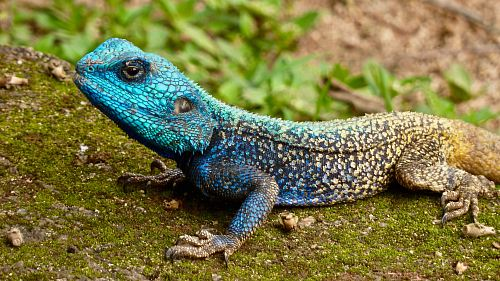 photo blue and grey lizard during daytime free for commercial use images