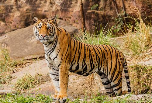 photo brown and black tiger on focus photography free for commercial use images