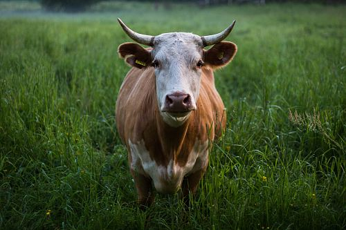 photo brown and white cattle standing at open field free for commercial use images