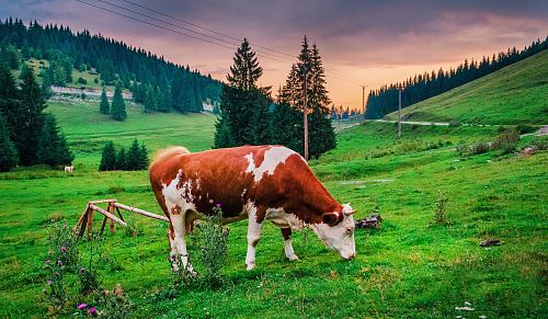 photo brown and white cow eating grass free for commercial use images