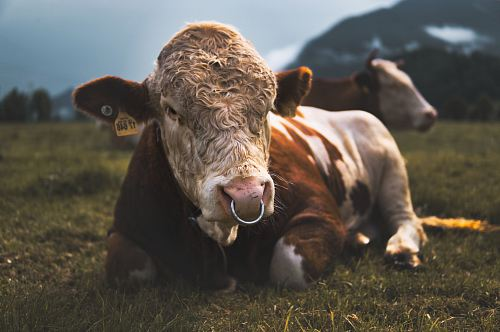 brown and white cow lying on grass