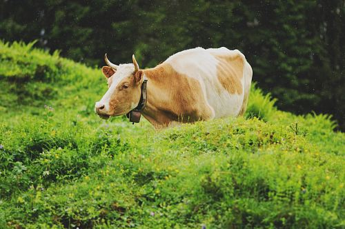 photo brown and white cow on green grass field free for commercial use images