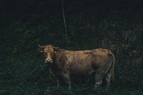 brown cow near mountain side full of grass during daytime