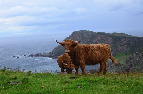 photo brown cow with calf standing on green grass free for commercial use images