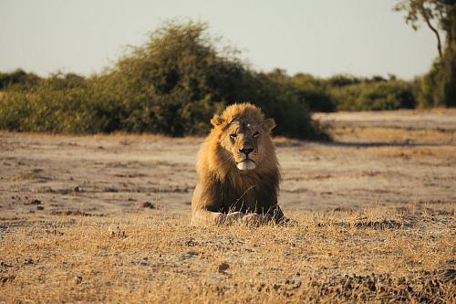 photo brown lion sitting on ground during daytime free for commercial use images
