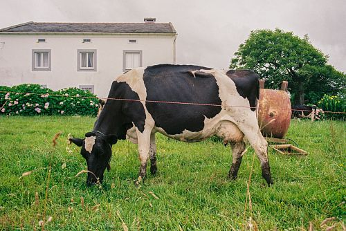 photo cattle eating grass in front of house free for commercial use images