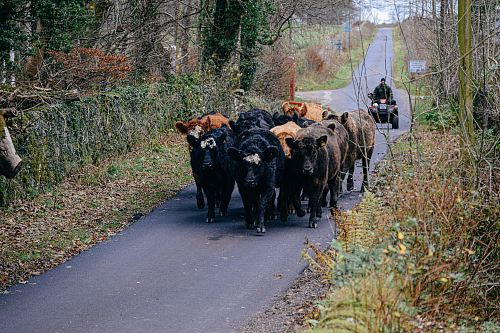 photo cattle walking on road at daytime free for commercial use images