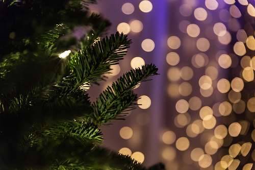 photo tree close up photo of green Christmas tree bokeh photography conifer free for commercial use images