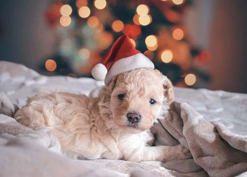 photo dog long-coated white puppy wearing santa hat puppy free for commercial use images
