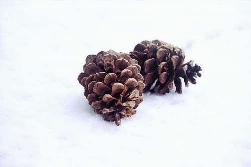 winter two pinecones snow