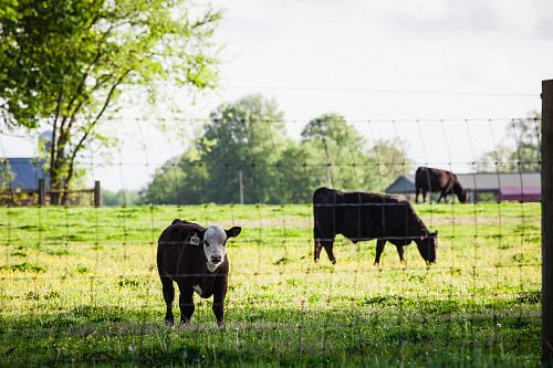photo close-up photography of cattle free for commercial use images