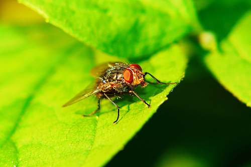 photo asilidae black fly on green leaf animal free for commercial use images