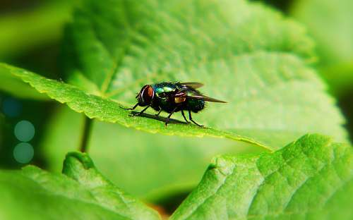 photo animal black house fly on green leaf asilidae free for commercial use images