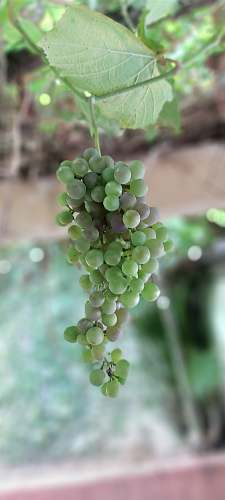 fruit green grapes plant