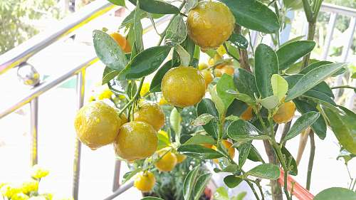 fruit lemon fruit citrus fruit