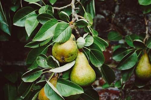 fruit pear tree with fruits flora