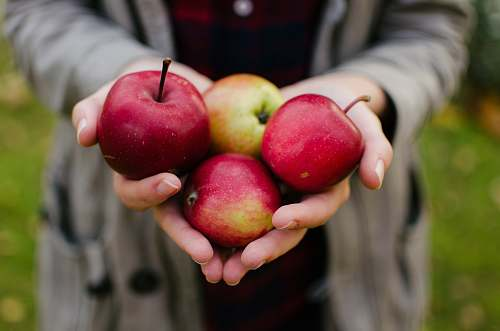 photo apple person holding four red apples flora free for commercial use images