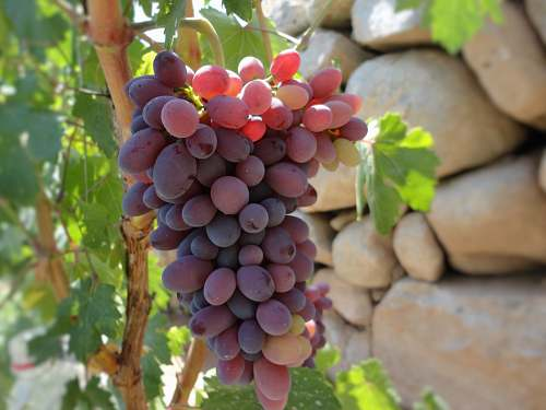 plant red grapes in selective focus photography fruit