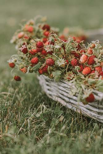 fruit red strawberries on basket plant