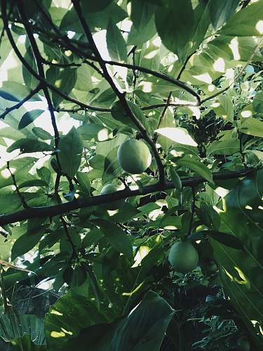 fruit round green fruit bearing tree plant