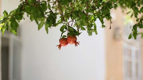 plant two orange pomegranates produce
