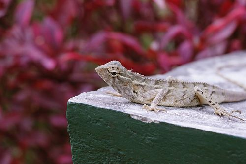 photo gray lizard resting on beige block free for commercial use images