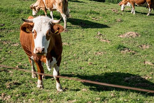 photo herd of cattle grazing free for commercial use images