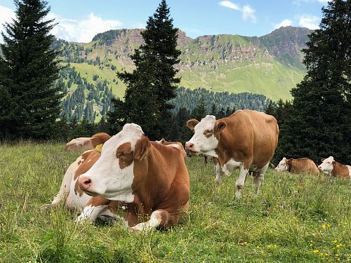 photo herd of cattle on grass field during daytime free for commercial use images