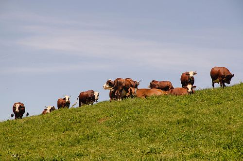 photo herd of cattle walking on grass field free for commercial use images