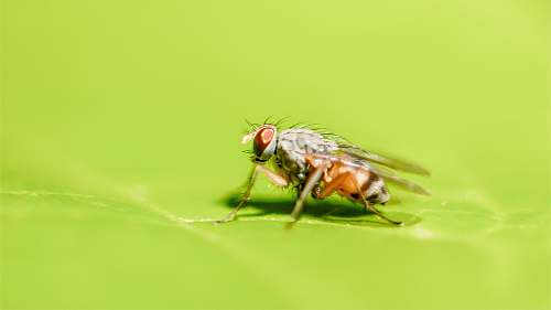 photo fly brown fruit fly perching on green leaf animal free for commercial use images