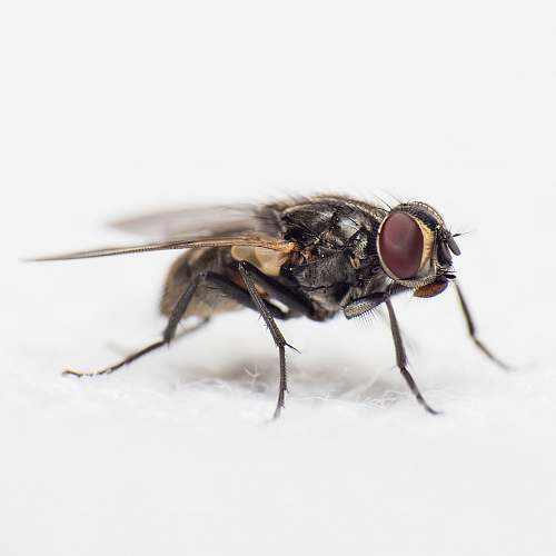 fly close-up photography of black common housefly asilidae