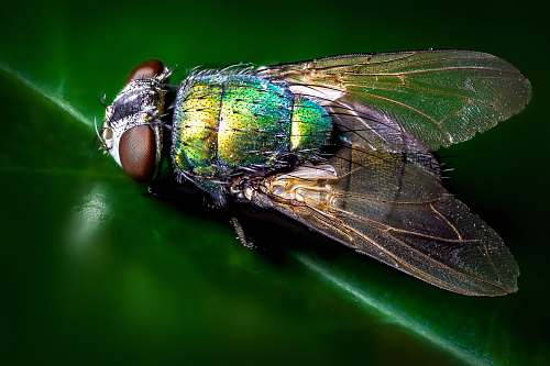 photo fly closeup photography of blue and green fly animal free for commercial use images