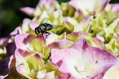 photo fly housefly perching on purple petaled flower animal free for commercial use images