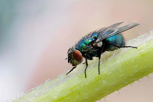 fly macro photograph of blue fly on plant's stem asilidae